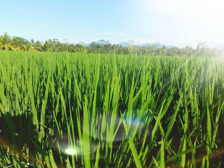 ricefield5